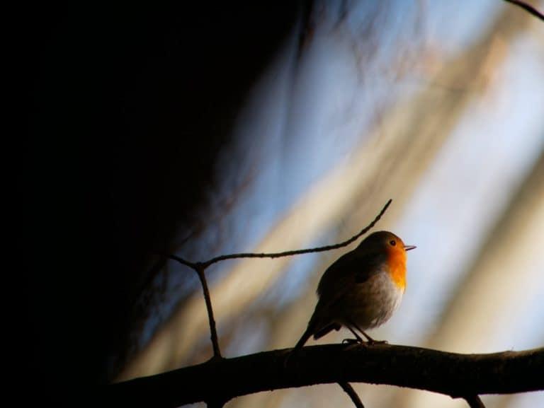 Robin bird sleeping on tree